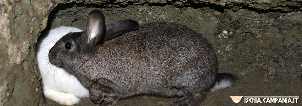 L'isola d'Ischia e l'antica tradizione dell'allevamento del coniglio